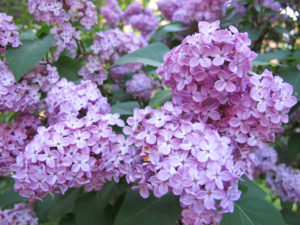A Spray of Lilacs